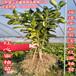 红肉蜜柚苗要哪家买便宜、四川有红心蜜柚苗买吗?
