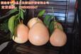 贵州蜜柚苗/最新品种三红蜜柚苗/优质的红心柚子苗基地