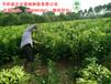 柚子苗、福建三红蜜柚苗出售,欢迎基地实地考察!