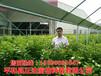 最新的三红蜜柚苗价格多少?贵州何处有售三红蜜柚苗果树