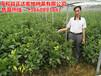 三红蜜柚苗价格、福建-平和-正宗的三红蜜柚苗果树供应