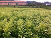 金桔蜜柚苗木批发,大量供应1-3年生金桔蜜柚苗批发价格