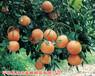 泰国进口红宝石西柚苗批发,好吃纯甜红葡萄柚苗价格