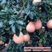琯溪红皮红肉蜜柚苗价格三红蜜柚树苗出售柚子苗代理批发