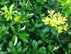 四川可以种金桔蜜柚苗吗?黄金蜜柚苗最新报价多少钱