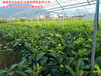 三红蜜柚苗特惠价格在线订购,平和三红蜜柚苗精选供应商