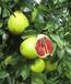 贵州红心蜜柚苗哪里有出售丨贵州哪里有正宗红心蜜柚苗丨贵州蜜柚苗