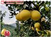 蜜柚苗品种,红肉蜜柚苗哪家好,正宗的红肉柚子苗