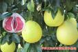 贵州种植红肉蜜柚苗的老乡,求推荐靠谱的蜜柚苗木公司