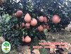 贵州购买三红蜜柚苗应该去哪家?三红柚子苗原产地