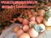 大棵三红蜜柚壮苗哪里有哪里有三红蜜柚苗咨询正达蜜柚苗场