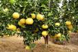 新品台湾甜葡萄柚苗价格黄皮甜葡萄柚苗价格多少