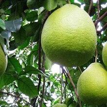 哪里有泰国青柚苗_管理正宗青柚苗哪里有图片