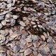 杉树种子5