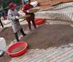 广西良种杉木种子批发价格速生杉木种子供应厂家三代杉木种子邮购图片