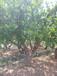 丛生石榴树批发,丛生石榴树供应,大型丛生石榴树出售