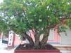 枣庄石榴树批发,枣庄石榴树供应商,5公分石榴树出售