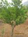 石榴树,枣庄石榴树,15公分,18公分,20公分,25公分,30公分石榴树
