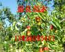 供应枣树苗、山西枣树苗、嫁接枣树苗品种