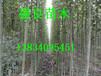 供应杨树苗、山西速生杨树、107-108速生杨、4cm、5cm、6cm杨树苗