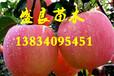 山西苹果苗、山西嫁接苹果苗、山西矮化苹果苗