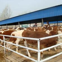 肉牛养殖场肉牛价格行情