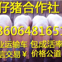 安徽20斤的小猪什么价格三元仔猪供应市场
