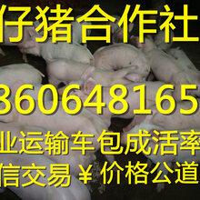 甘肃仔猪批发三元仔猪多少钱一斤