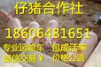 北京50斤的仔猪价格小猪价格