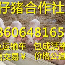 云南外三元苗猪多少钱一头仔猪养殖技术