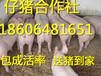 天津仔猪养殖基地仔猪销售价格
