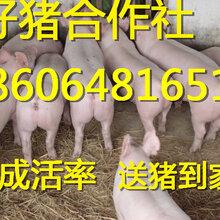 江苏仔猪价格小猪批发基地