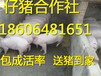广东小猪养殖场在哪三元仔猪怎么批发