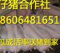 贵州20斤的小猪什么价格仔猪今日报价
