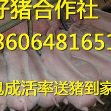 湖北仔猪什么地方批发苗猪大型猪场