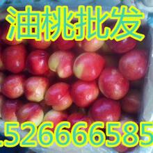 山东126油桃批发价格山东大棚油桃哪的表光好图片