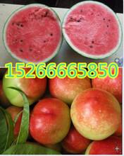 山东油桃哪的价格低山东中油5号油桃销售价格图片
