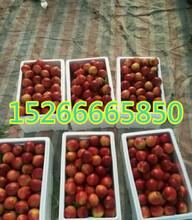 山东白油桃出售山东大棚油桃批发价格图片