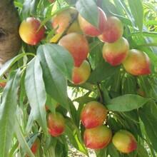 什么品种的油桃耐运输山东黄油桃代购图片