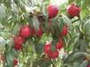 山东126油桃哪的质量好山东毛桃哪的价格低