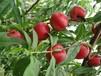山东毛桃出售油桃要怎么运输