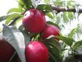 山东黄油桃哪的表光好山东大棚油桃哪的表光好图片