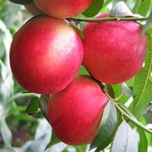 山东油桃种植产地在那山东毛桃基地价格图片