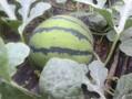 山东大棚西瓜销售行情山东黑美人西瓜哪的表光好图片