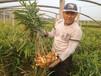山东优质生姜种植产地在那,山东生姜价格