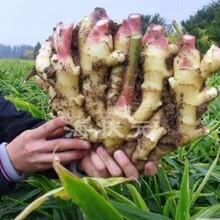 山东优质生姜种植基地在那,山东生姜种植图片