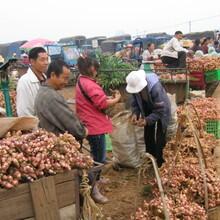 山东陆地生姜种植基地,山东生姜批发图片