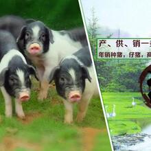 湖南寧鄉市花豬養殖場出售寧鄉花豬種母豬,寧鄉土花豬種公豬圖片