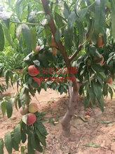 泰安桃树苗价格