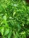 常年出售优质晚熟杂柑新品,沃柑,大雅柑等多种柑橘嫁接苗。